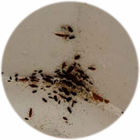 cockroach treatment- Bromley By Bow